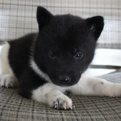 Sadie - AKC Akita puppie for sale in New Haven, Indiana