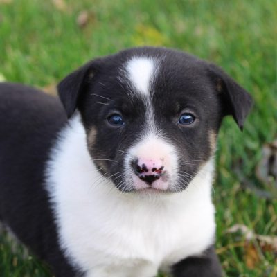 Anita - Australian Shepherd-Spitz-Retriever mix pup for sale near Spencerville, Indiana