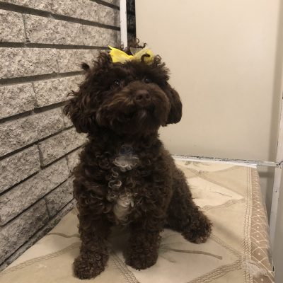 Cavapoo doggies for sale at Richmond, Michigan