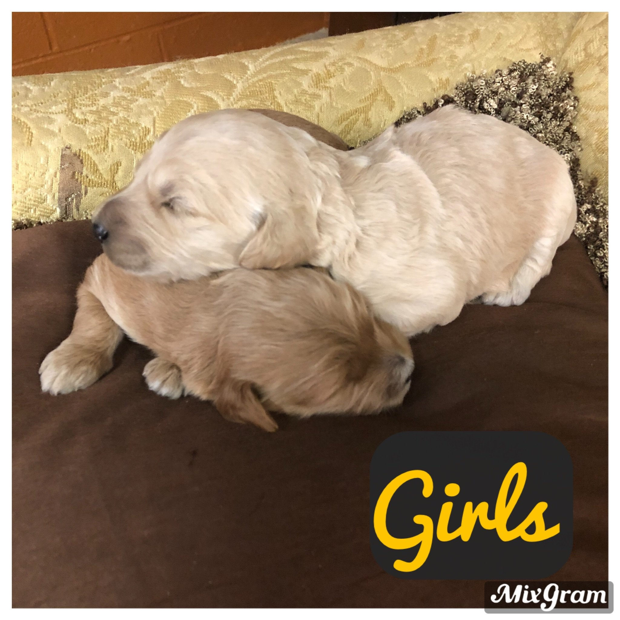 F1bb mini Golden Doodle puppies for sale at Richmond, Michigan
