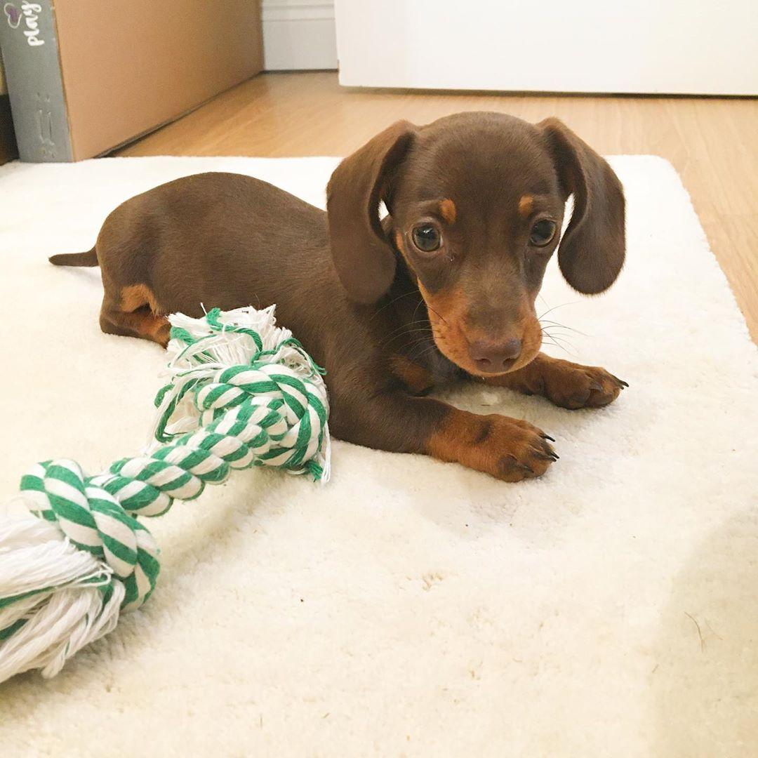 Harry Male Miniature Dachshund Puppy