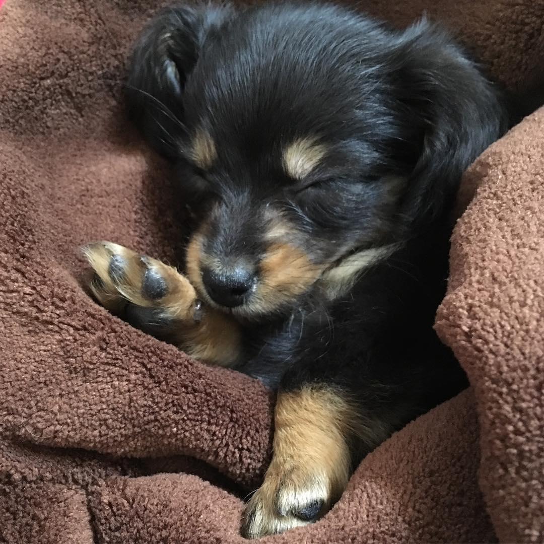 Jess Female Miniature Dachshund Puppy