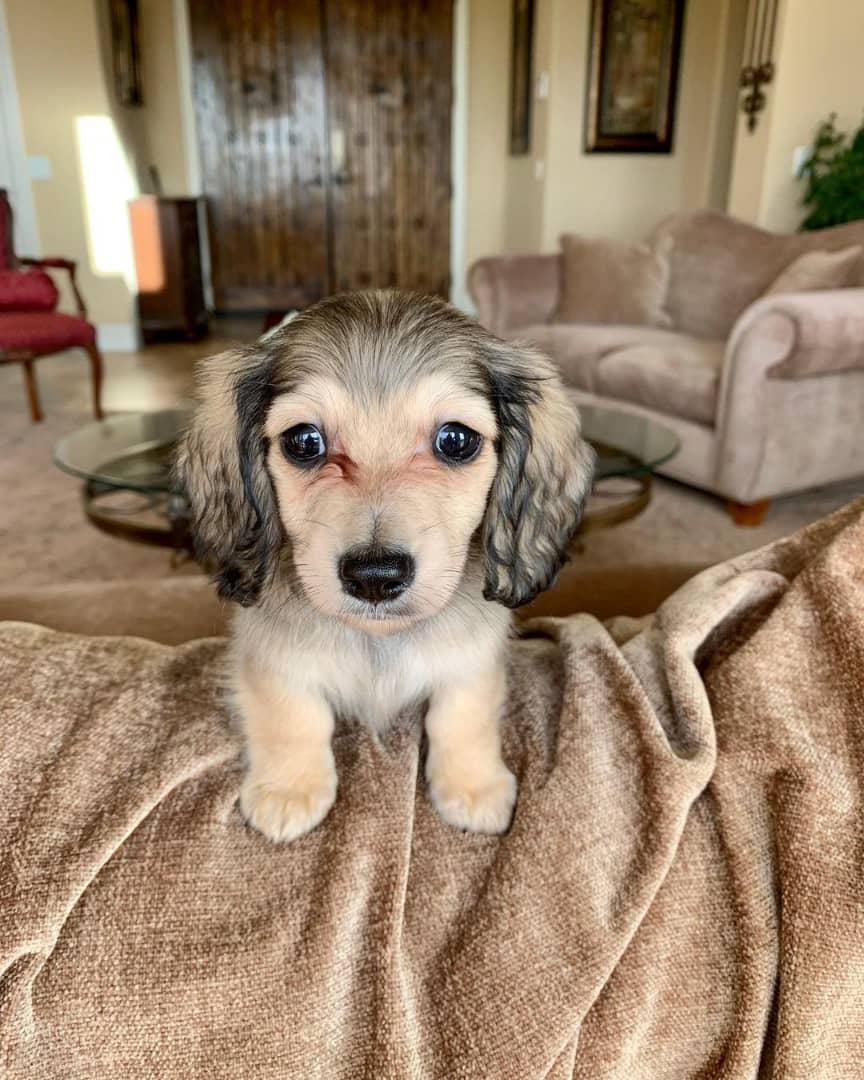 Tyson Male Miniature Dachshund Puppy
