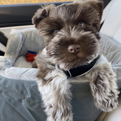 Charlie - Schnauzer puppie for sale
