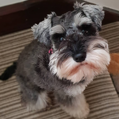 Patsy - female Schnauzer puppy for sale in Miami, Florida