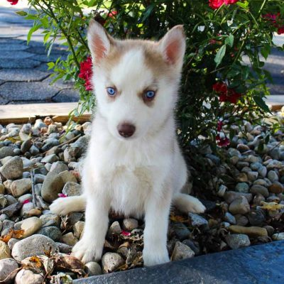 Brittney - AKC Siberian Husky doggie for sale at Grabill, Indiana