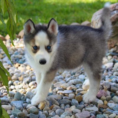 Logan - AKC Siberian Husky puppy for sale near Grabill, Indiana