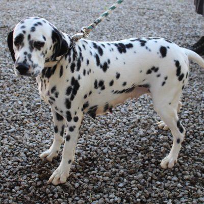 Dotty - AKC Dalmatian pupper for sale in Grabill, Indiana