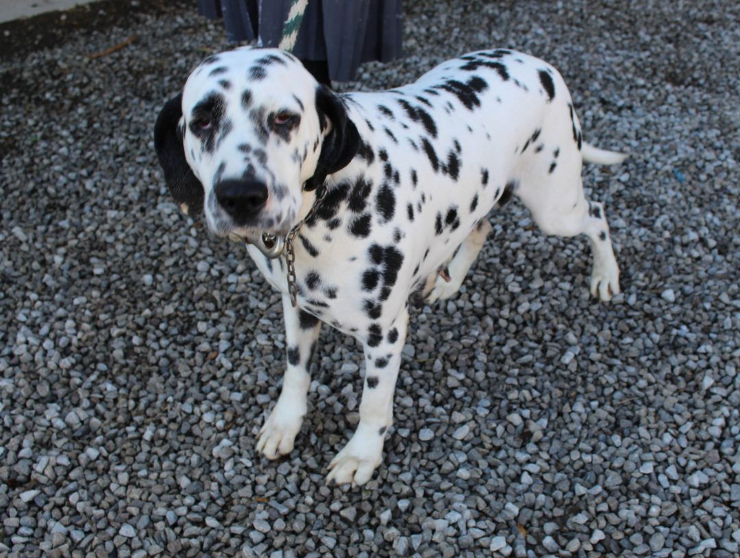 Dotty - AKC Dalmatian pupper for sale in Grabill, Indiana