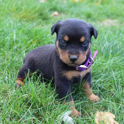 Dixie - AKC Rottweiler puppie for sale at New Haven, Indiana