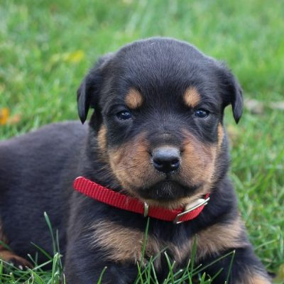 Gabby - puppy AKC Rottweiler for sale in New Haven, Indiana