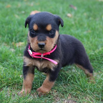 Jada - AKC Rottweiler pup for sale at New Haven, Indiana