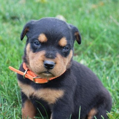 Miles - male pupper AKC Rottweiler for sale at New Haven, Indiana