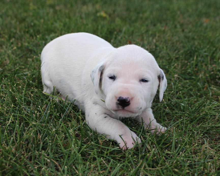Kylie - AKC Dalmatian puppie for sale at New Haven, Indiana
