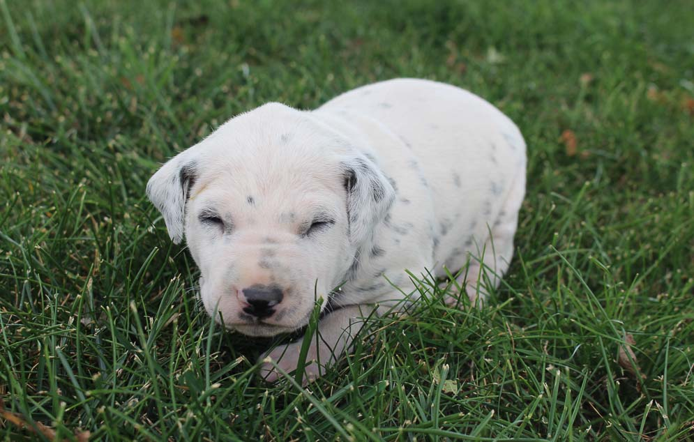 Liam - AKC Dalmatian male pupper for sale near New Haven, Indiana