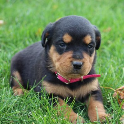 Brooklyn - AKC Rottweiler puppy for sale at New Haven, Indiana