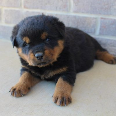 Rando - AKC Rottweiler puppy for sale in Woodburn, Indiana
