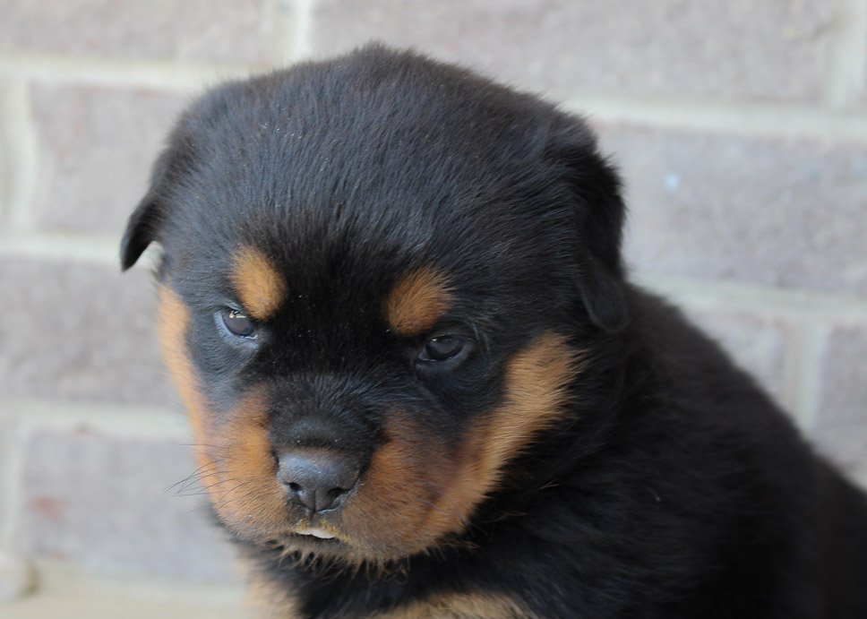 Ruby - AKC Rottweiler pupper for sale near Woodburn, Indiana