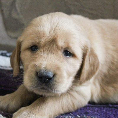 Sally - puppy AKC Golden Retriever for sale at Grabill, Indiana