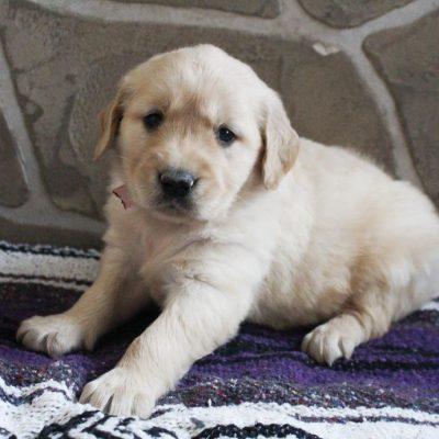 Queenie - AKC Golden Retriever pup for sale in Grabill, Indiana