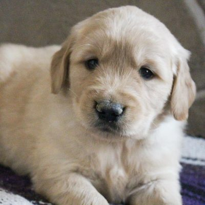 Prince - puppie AKC male Golden Retriever for sale at Grabill, Indiana