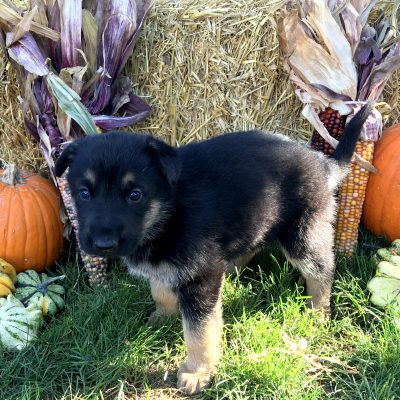 Pumpkin - German Shepherd doggie at Gap, Pennsylvania