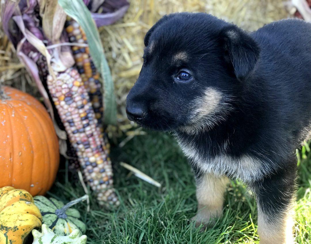 Pumpkin - German Shepherd doggie at Gap, Pennsylvania