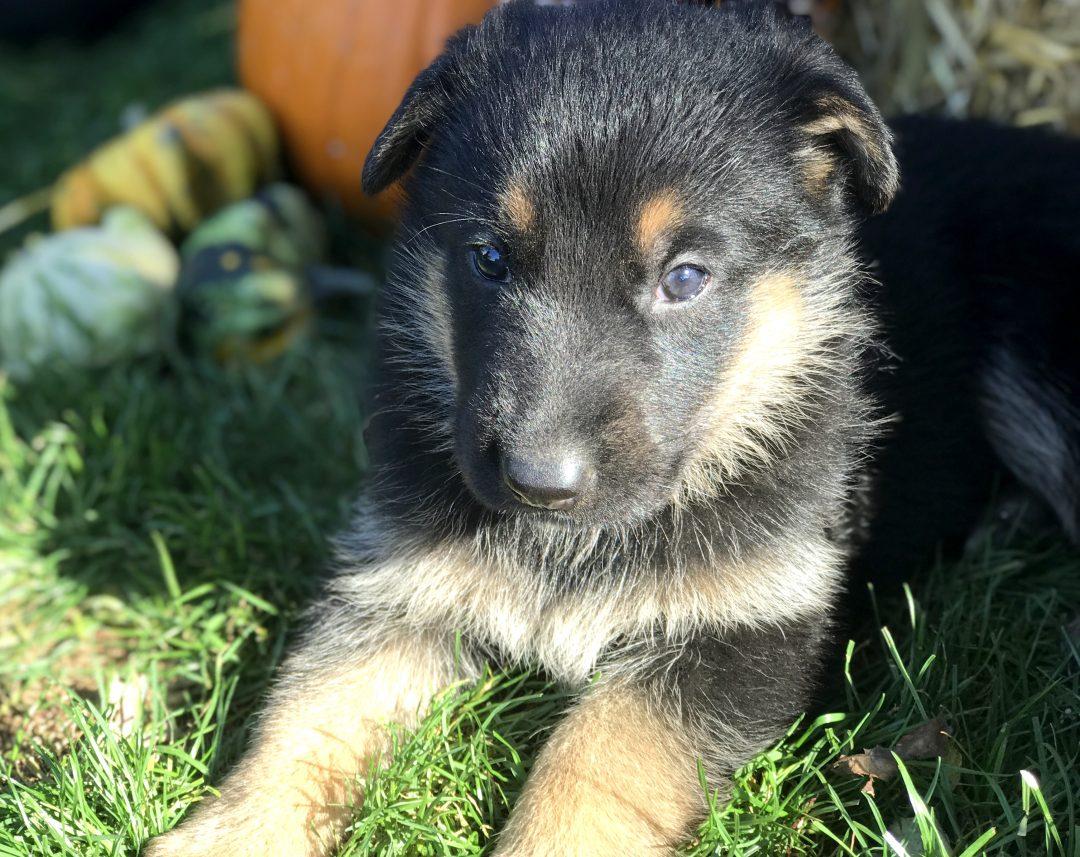 Caramel - female German Shepherd puppy in Gap, Pennsylvania