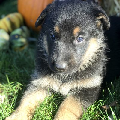 Caramel - female German Shepherd puppy in Gap, Pennsylvania