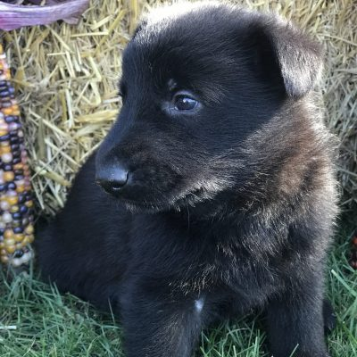 Acorn - male German Shepherd puppy for sale in Gap, Pennsylvania