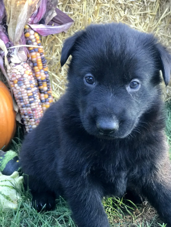 Autumn - German Shepherd puppie near Gap, Pennsylvania