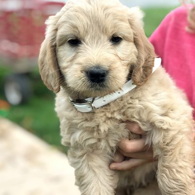 Bianca - Mini Goldendoodle pupper for sale at Kinzers, Pennsylvania
