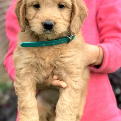 Blossom - female Mini Goldendoodle pup for sale in Kinzers, Pennsylvania