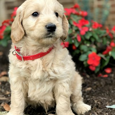Bo - Mini Goldendoodle puppie for sale near Kinzers, Pennsylvania