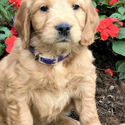 Baxter - male Mini Goldendoodle puppy for sale in Kinzers, Pennsylvania