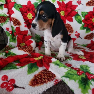 Abe - Beagle puppy for sale at Sunbury, Pennsylvania