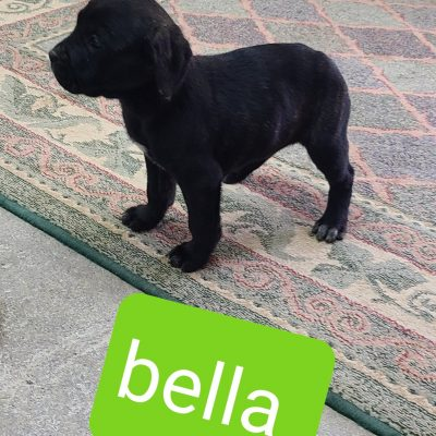Bella - ICCF Cane Corso puppy for sale in Grabill, Indiana