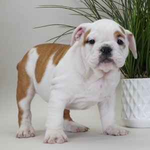 English Bulldog Puppy For Sale By Name Cinnamon
