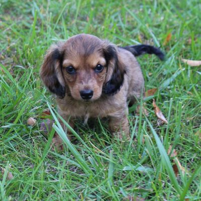 Dallas - AKC male Dachshund puppy for sale in Lagrange, Indiana