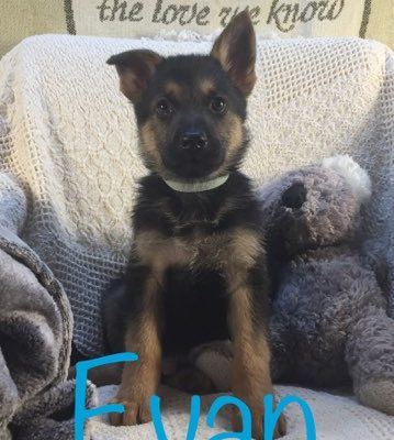 Evan - AKC German Shepherd pupper for sale at Grabill, Indiana