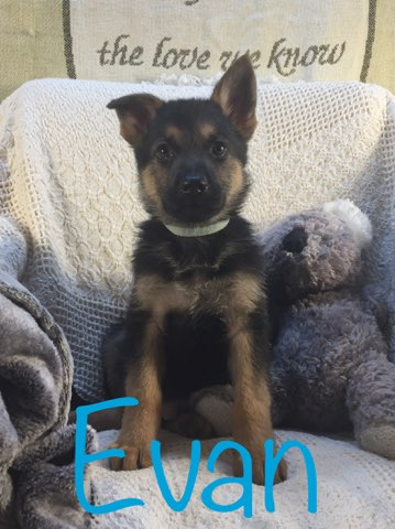 Evan - AKC German Shepherd pupper for sale at Grabill, Indiana