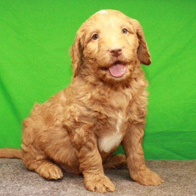 Labradoodle F1 pups for sale at Shawnee, Oklahoma