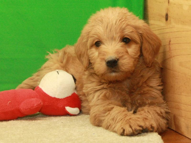 Labradoodle F1 puppies for sale near Shawnee, Oklahoma