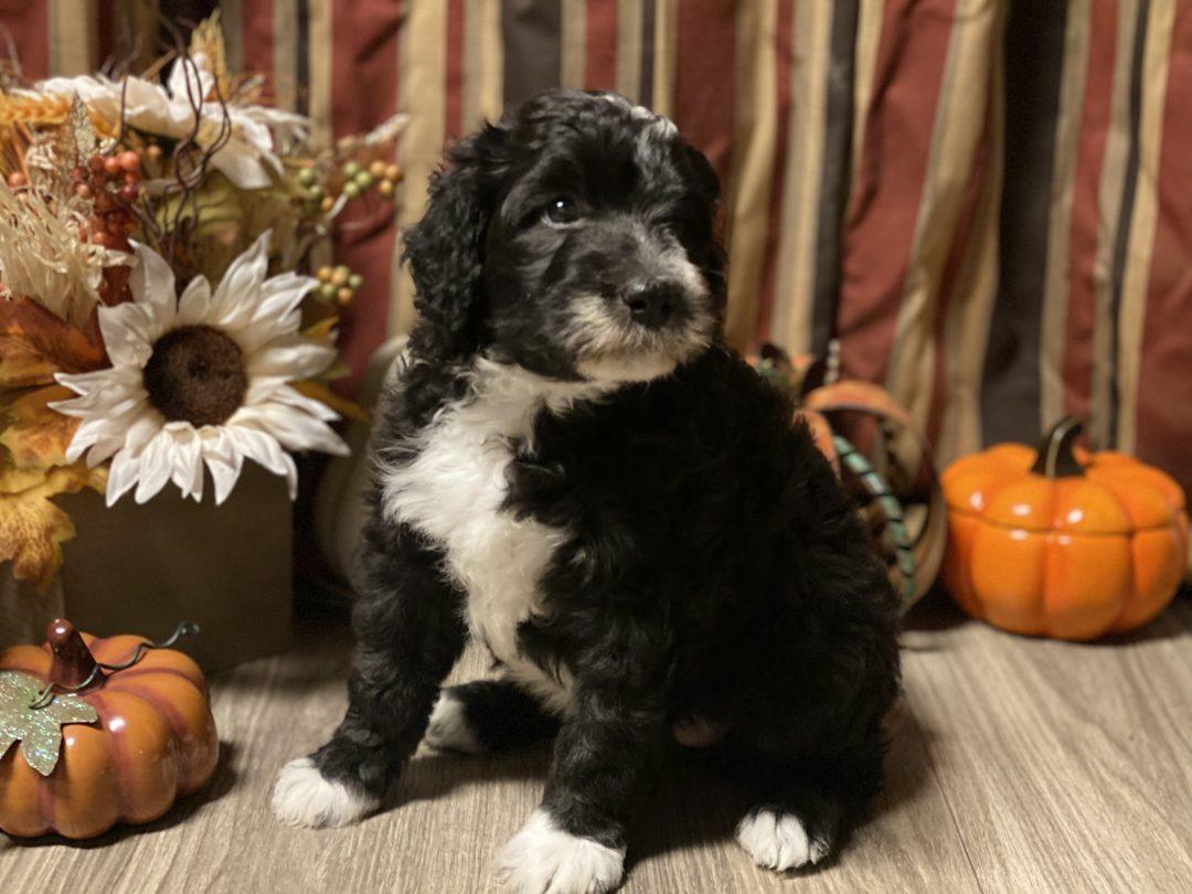 Tan - Sheepadoodle puppy for sale at Belleville, Arkansas