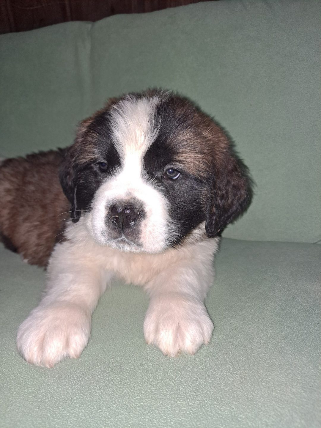 Morse - AKC Saint Bernard puppy for sale at New Haven, Indiana