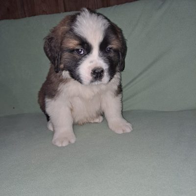 Marc - AKC Saint Bernard puppie for sale near New Haven, Indiana