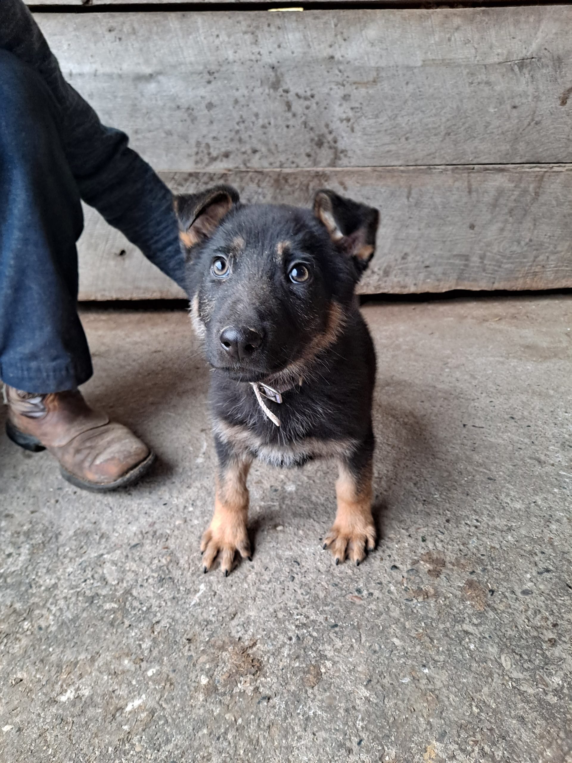 Sammy - AKC German Shepherd pup for sale at New Haven, Indiana