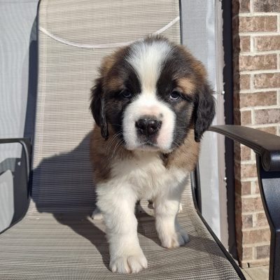 Jane - AKC Saint Bernard puppie for sale at New Haven, Indiana