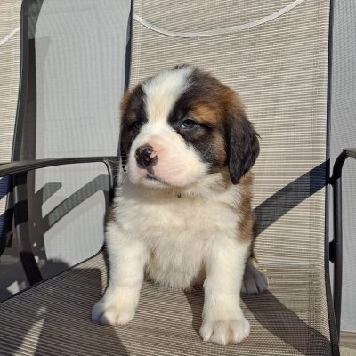 Jean - female AKC Saint Bernard puppy for sale in New Haven, Indiana