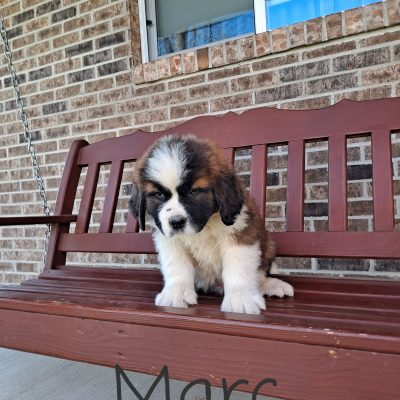 Marc - AKC Saint Bernard pup for sale in New Haven, Indiana